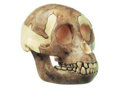 Proconsul africanus schedel replica Somso S 5/1