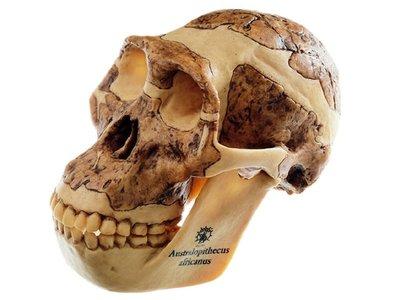 Australopithecus africanus schedel replica Somso S 5